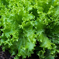 Lettuce disease resistance screening